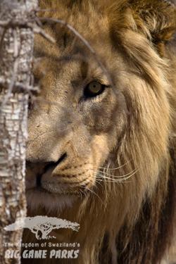 Hlane_Lion