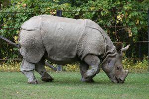 800px-Indian_Rhino_Rhinoceros_unicornis1_-_Relic38